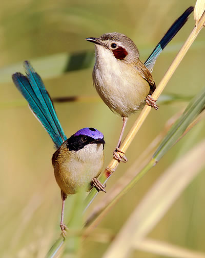Purple-crowned Fairy-wrens.