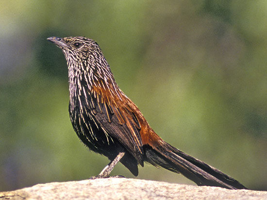 Rare and restricted Black Grasswren.